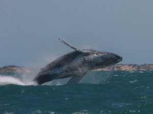 Whale-Breach-Image-courtesy-of-Lawrence-Hillary-Loza1976-Redbubble-images.jpg